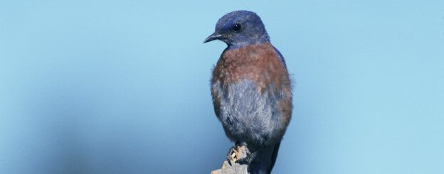 signification des oiseaux bleus sens spirituel. Black Bedroom Furniture Sets. Home Design Ideas